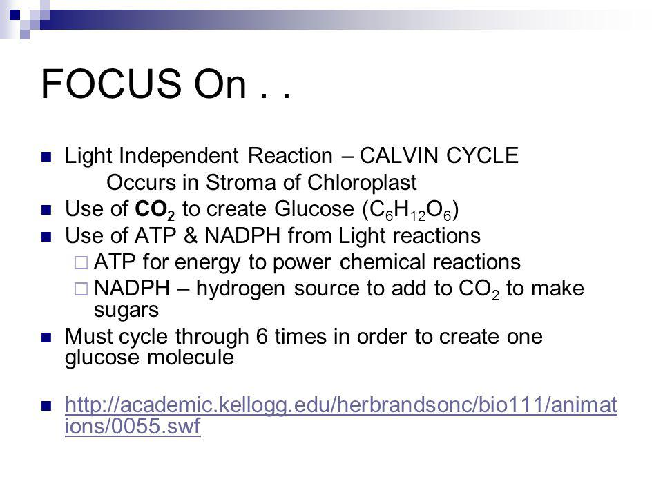 FOCUS On.. Light Independent Reaction – CALVIN CYCLE Occurs in Stroma of Chloroplast Use of CO 2 to create Glucose (C 6 H 12 O 6 ) Use of ATP & NADPH