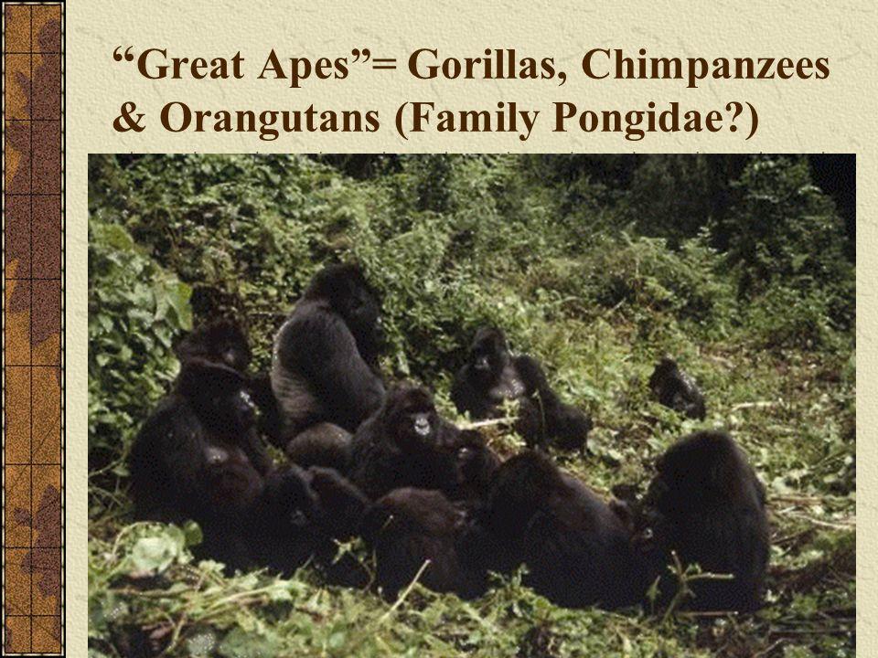 Great Apes= Gorillas, Chimpanzees & Orangutans (Family Pongidae?)