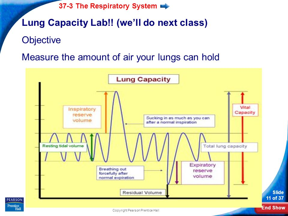End Show 37-3 The Respiratory System Slide 11 of 37 Copyright Pearson Prentice Hall Lung Capacity Lab!.
