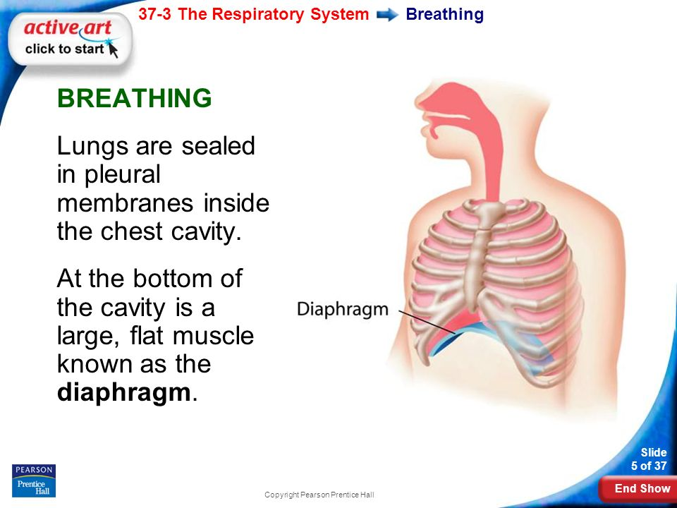End Show 37-3 The Respiratory System Slide 5 of 37 Copyright Pearson Prentice Hall Breathing BREATHING Lungs are sealed in pleural membranes inside the chest cavity.