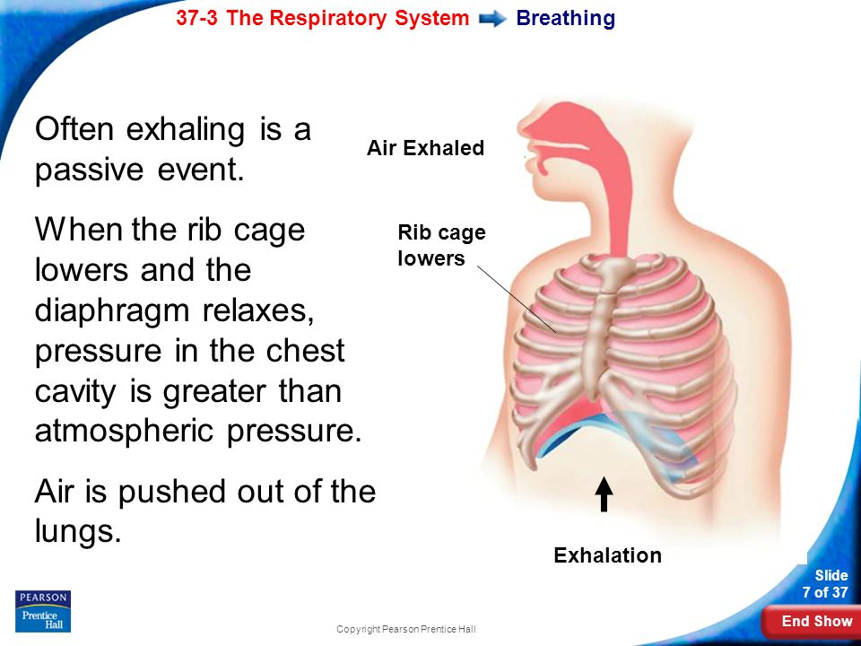 End Show 37-3 The Respiratory System Slide 7 of 37 Copyright Pearson Prentice Hall Breathing Often exhaling is a passive event.