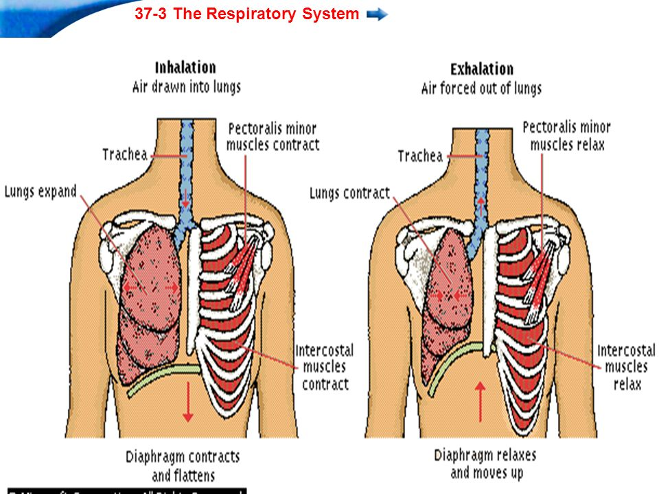 End Show 37-3 The Respiratory System Slide 8 of 37 Copyright Pearson Prentice Hall