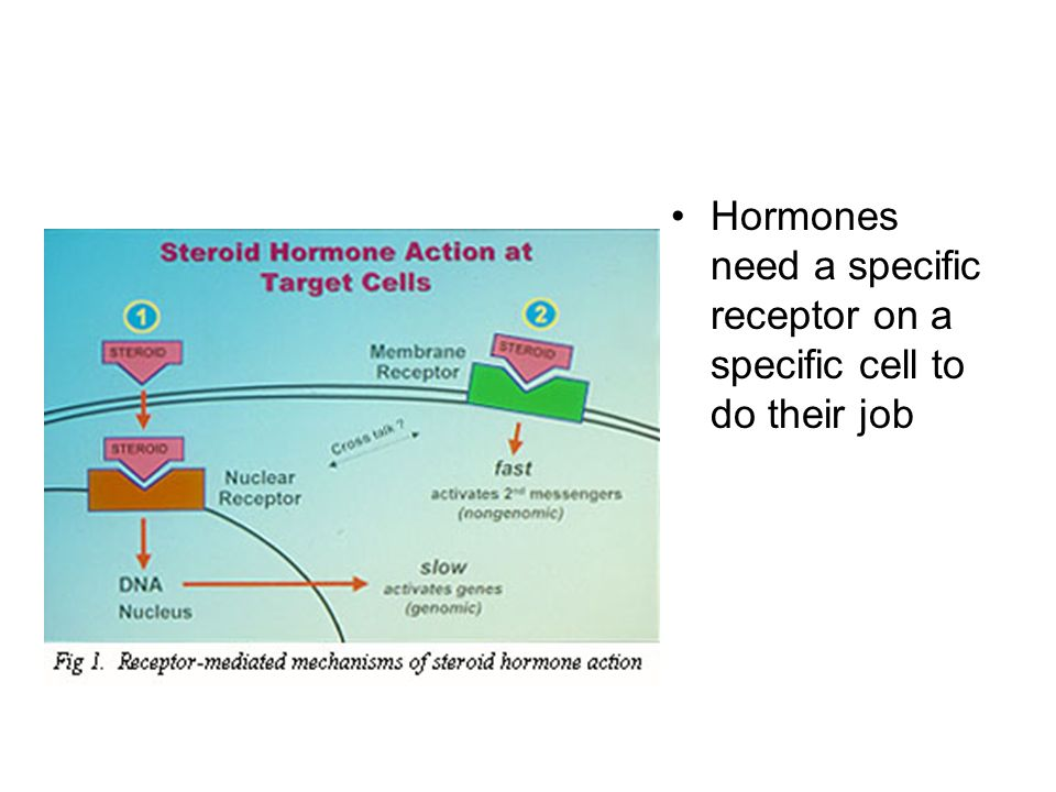 Hormones need a specific receptor on a specific cell to do their job