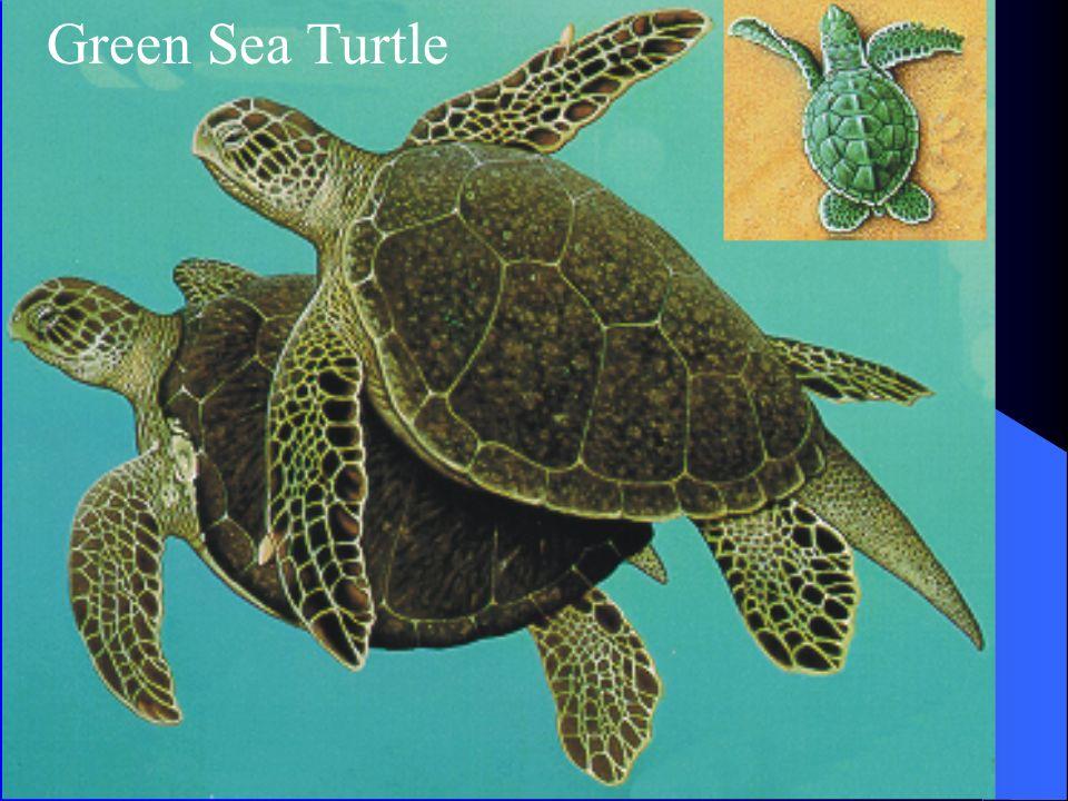 Green Sea Turtle Range; San Diego to Tropics Food; eel grass and sea weeds