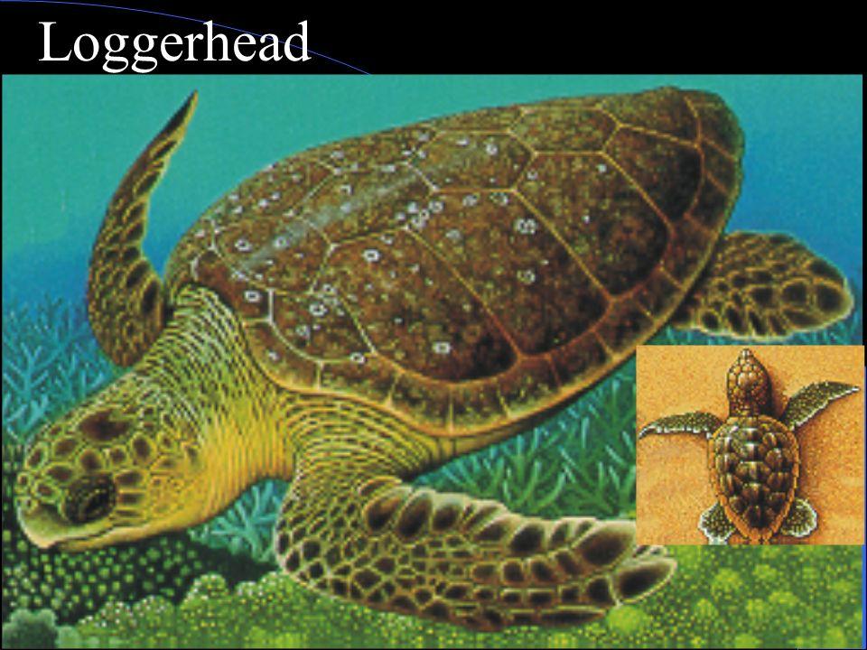 Loggerhead turtle Range; S. Calif. To tropics Food; crabs, mollusks, jellyfish, eelgrass