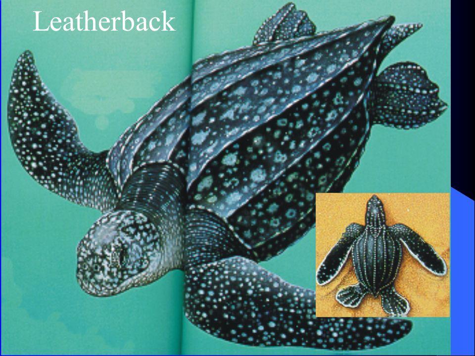 Leatherback Turtle Range; all warmer seas Food; jellyfish