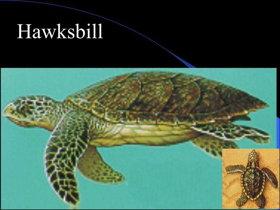 Hawksbill Turtle Range; Tropics Food; predator, fish etc.