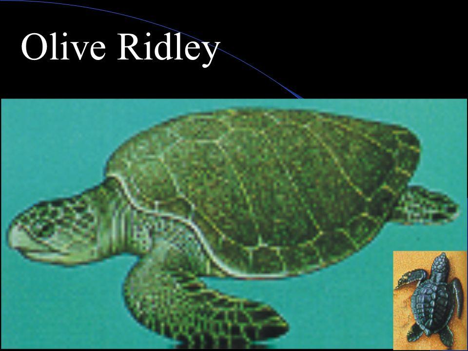 Olive Ridley Turtle Range;