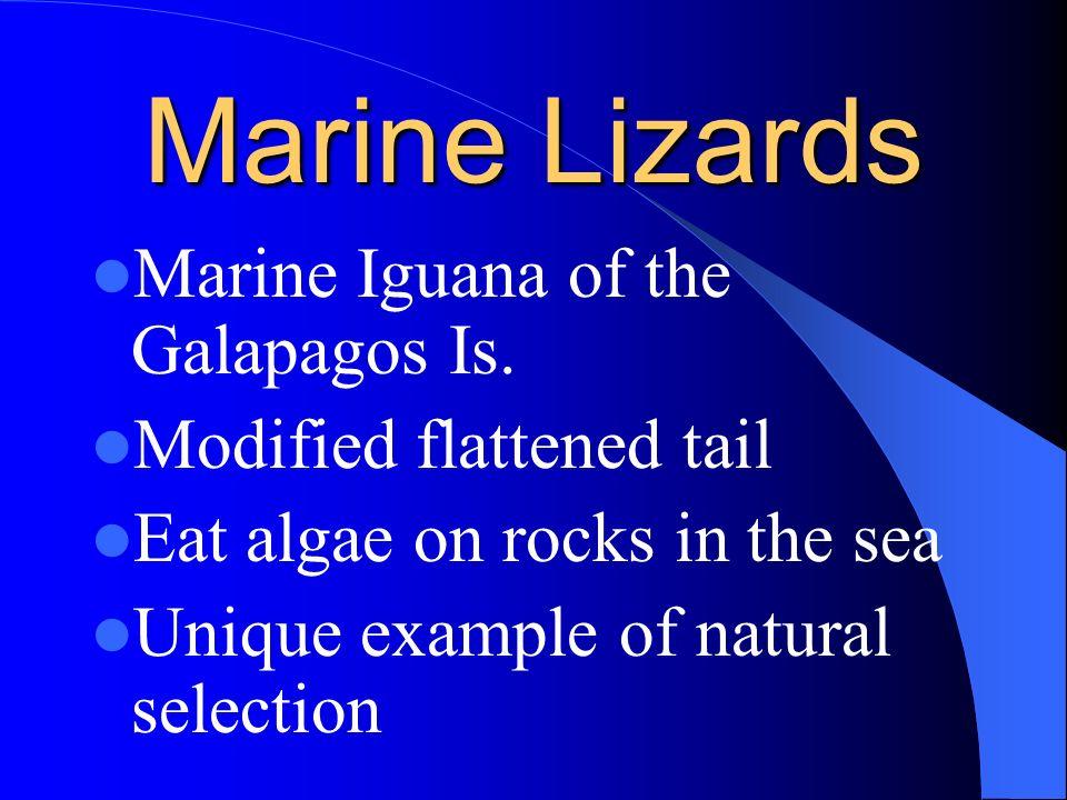 Sea Snakes Venomous 50 species (one sp.) Calif. To Ecuador Modified flattened body