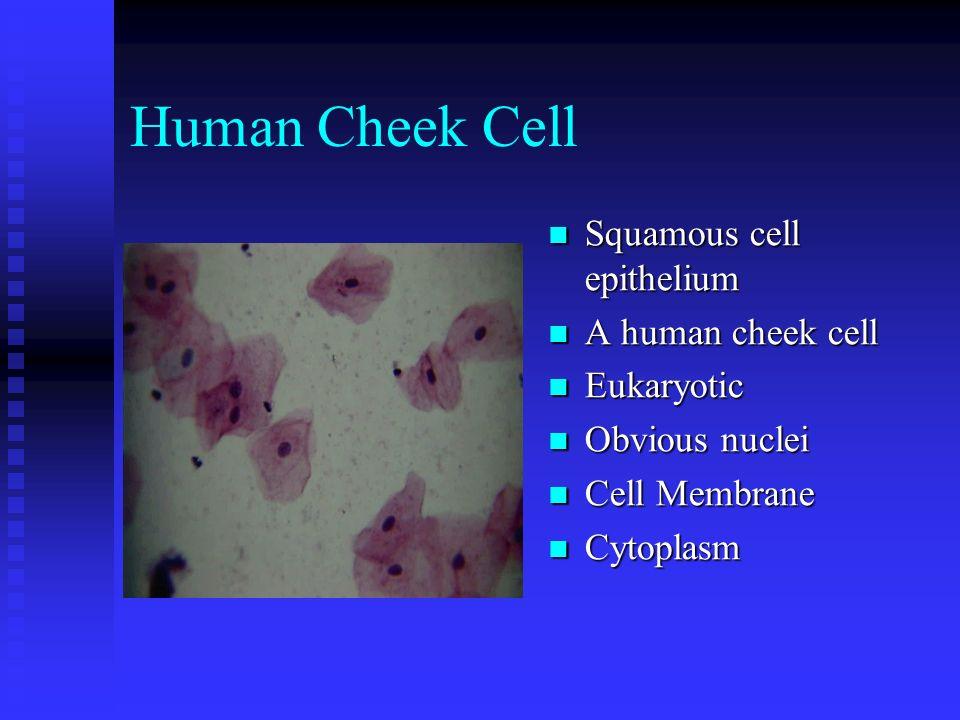 Cheek Cell Under Microscope