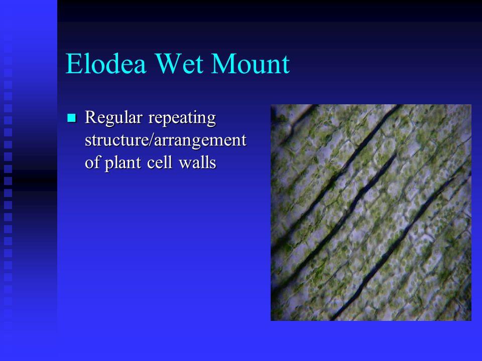 Elodea Wet Mount Regular repeating structure/arrangement of plant cell walls Regular repeating structure/arrangement of plant cell walls
