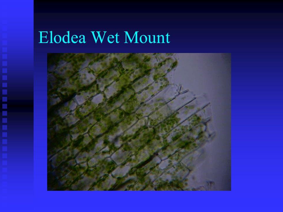 Elodea Wet Mount