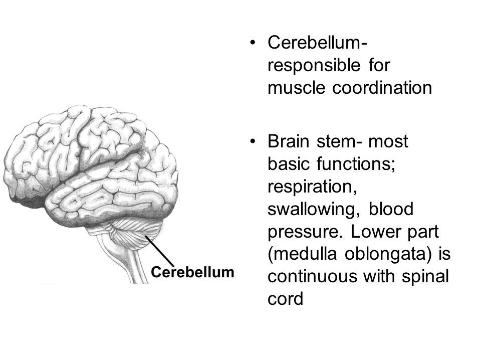 Cerebellum- responsible for muscle coordination Brain stem- most basic functions; respiration, swallowing, blood pressure.