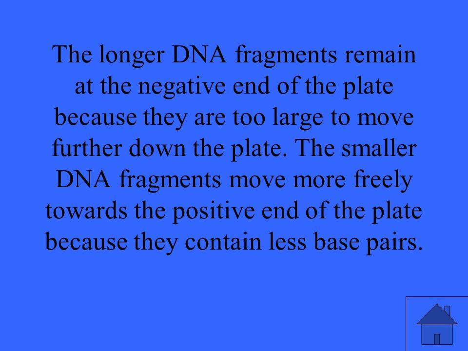 The longer DNA fragments remain at the negative end of the plate because they are too large to move further down the plate. The smaller DNA fragments