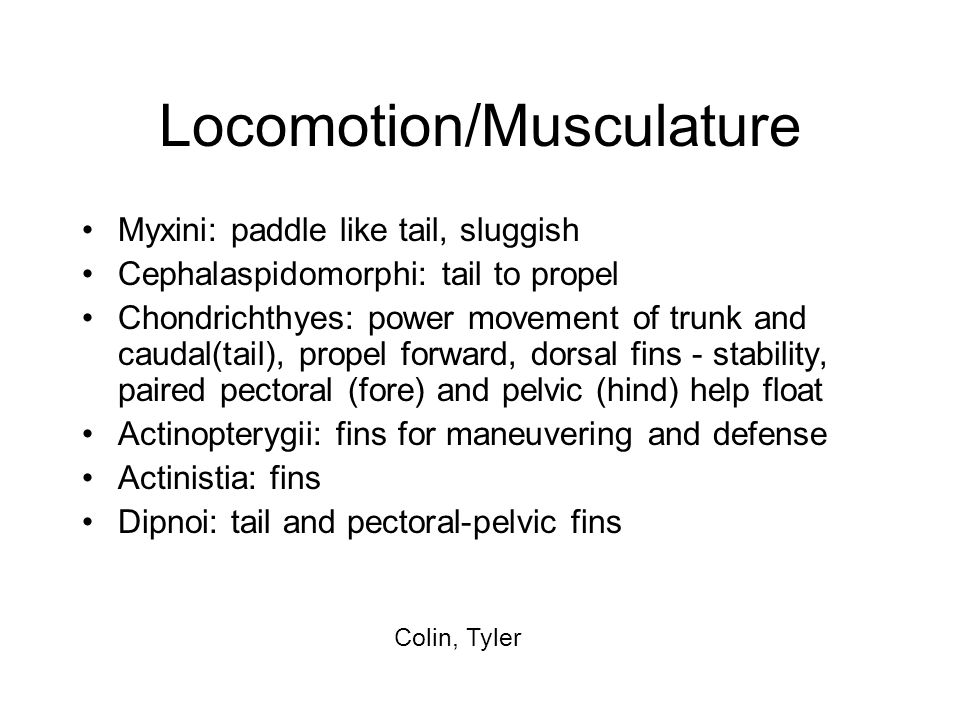 Locomotion/Musculature Myxini: paddle like tail, sluggish Cephalaspidomorphi: tail to propel Chondrichthyes: power movement of trunk and caudal(tail),