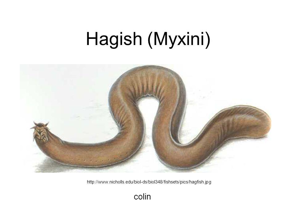 Hagish (Myxini) http://www.nicholls.edu/biol-ds/biol348/fishsets/pics/hagfish.jpg colin