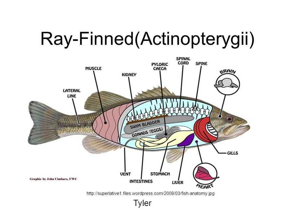 Ray-Finned(Actinopterygii) http://superlative1.files.wordpress.com/2008/03/fish-anatomy.jpg Tyler