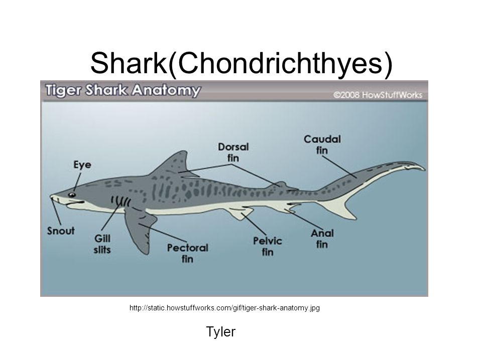 Shark(Chondrichthyes) http://static.howstuffworks.com/gif/tiger-shark-anatomy.jpg Tyler