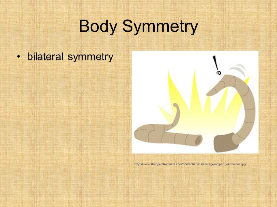 Body Symmetry bilateral symmetryhttp://www.sheppardsoft ware.com/content/ani mals/images/clipart_e arthworm.jpg