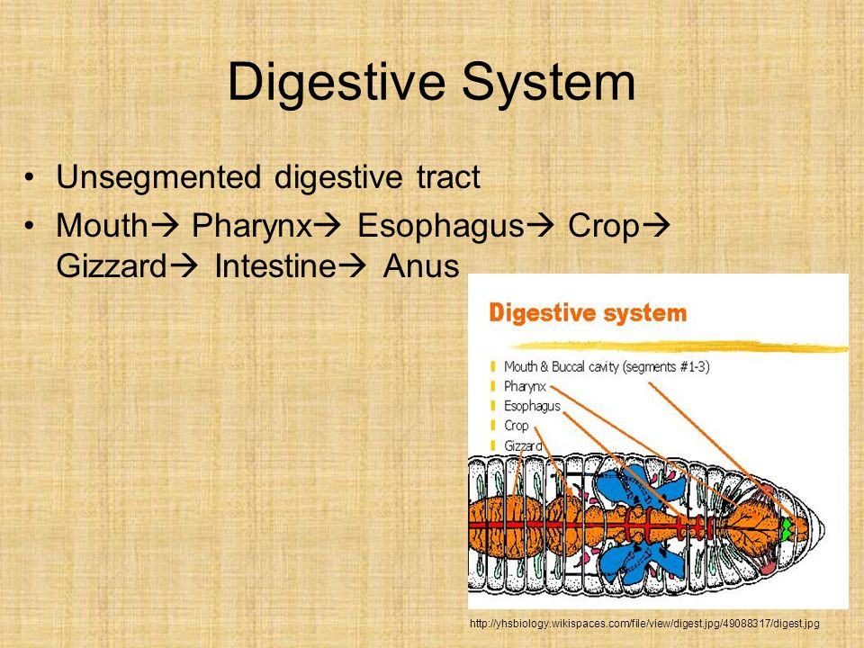 Digestive System Unsegmented digestive tract Mouth Pharynx Esophagus Crop Gizzard Intestine Anus http://yhsbiology.wikispaces.com/file/view/digest.jpg
