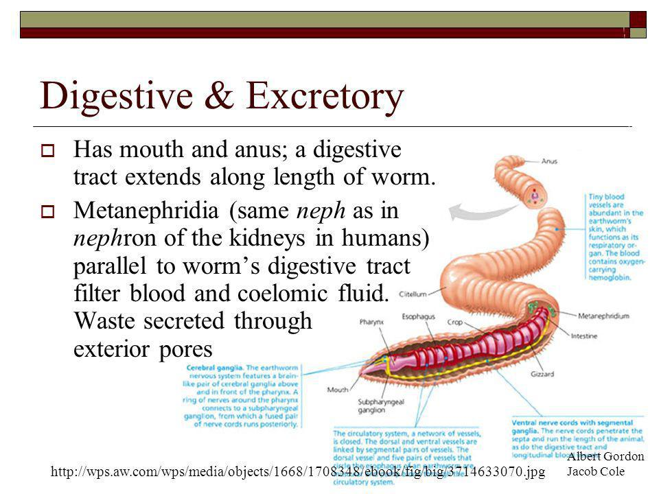 Circulatory Closed circulatory system Many hearts Blood vessels wrap around the digestive tract in loops Albert Gordon