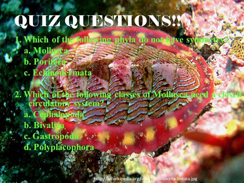 QUIZ QUESTIONS!! 1. Which of the following phyla do not have symmetry? a. Mollusca b. Porifera c. Echinodermata 2. Which of the following classes of M