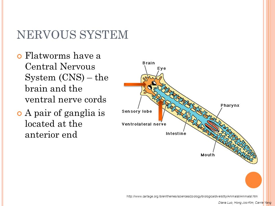 NERVOUS SYSTEM Flatworms have a Central Nervous System (CNS) – the brain and the ventral nerve cords A pair of ganglia is located at the anterior end