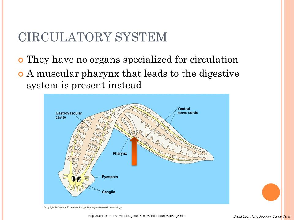 CIRCULATORY SYSTEM They have no organs specialized for circulation A muscular pharynx that leads to the digestive system is present instead http://ken