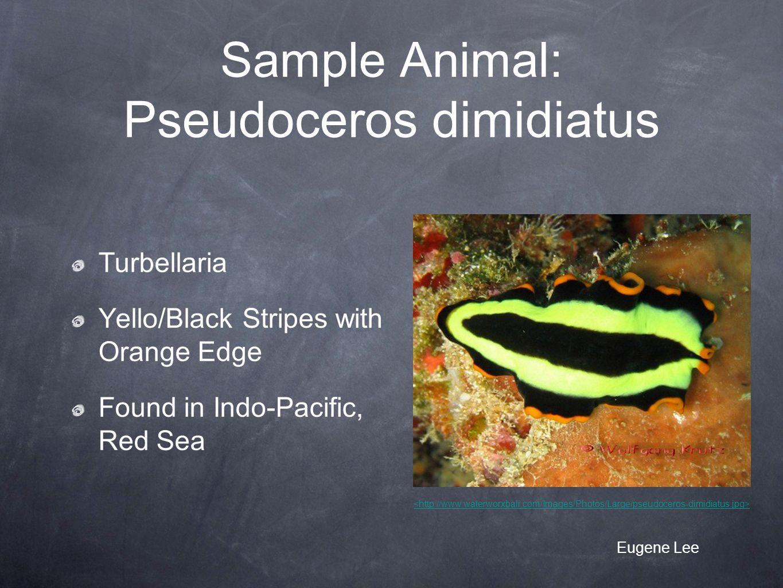 Sample Animal: Pseudoceros dimidiatus Turbellaria Yello/Black Stripes with Orange Edge Found in Indo-Pacific, Red Sea Eugene Lee