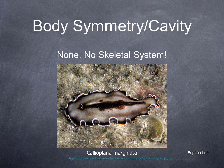 Body Symmetry/Cavity Callioplana marginata None. No Skeletal System! Eugene Lee