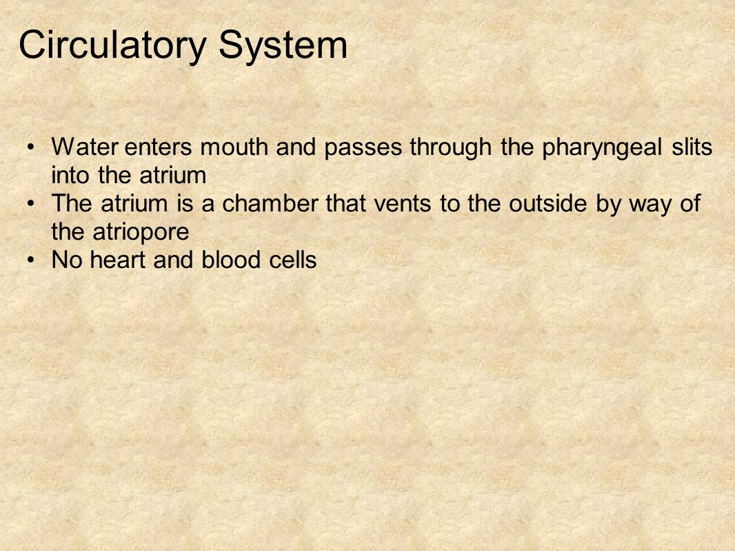 Circulatory System Water enters mouth and passes through the pharyngeal slits into the atrium The atrium is a chamber that vents to the outside by way