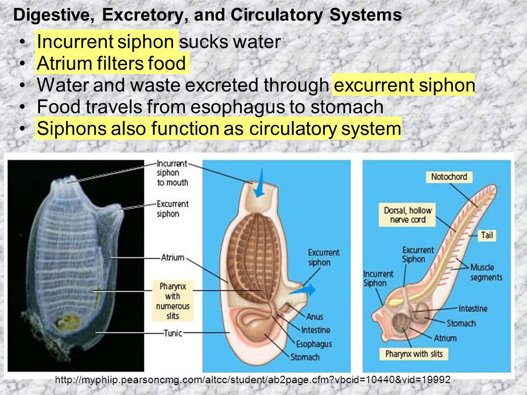 Digestive, Excretory, and Circulatory Systems Incurrent siphon sucks water Atrium filters food Water and waste excreted through excurrent siphon Food