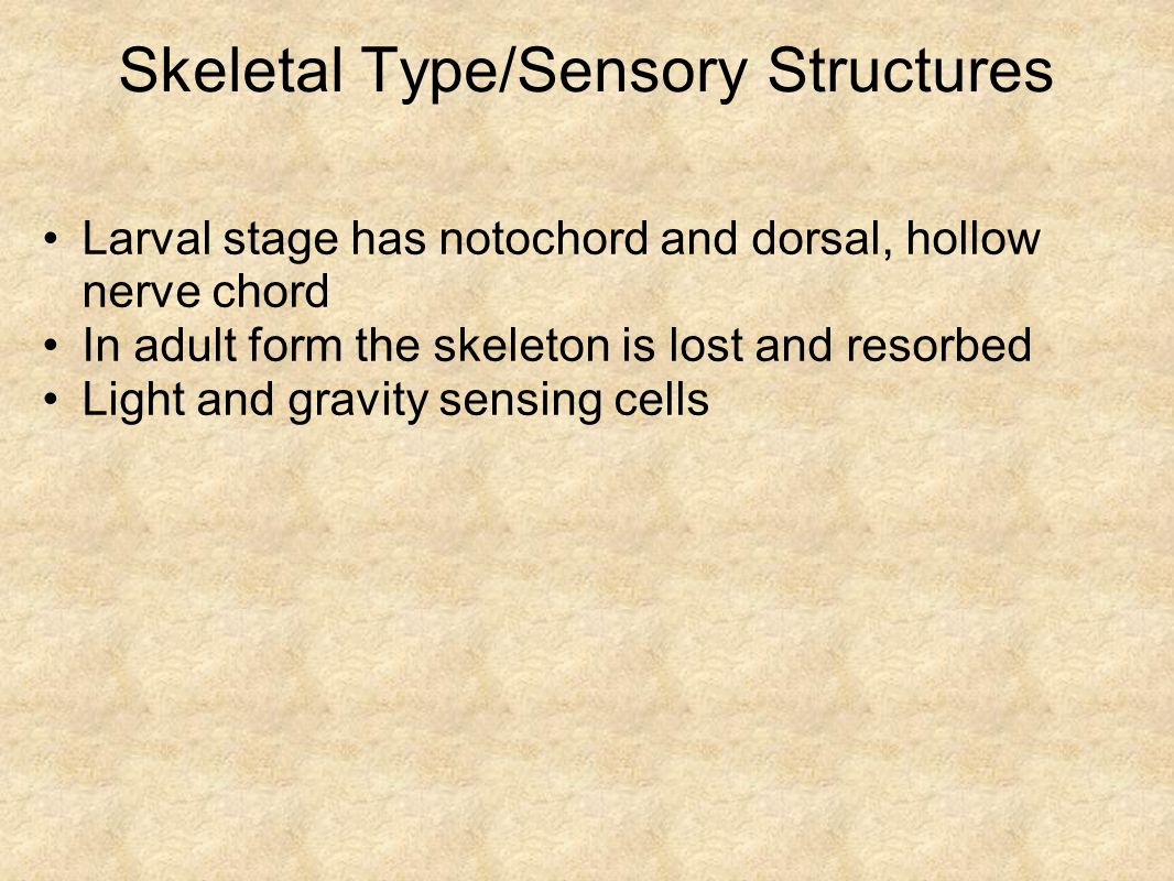 Skeletal Type/Sensory Structures Larval stage has notochord and dorsal, hollow nerve chord In adult form the skeleton is lost and resorbed Light and g