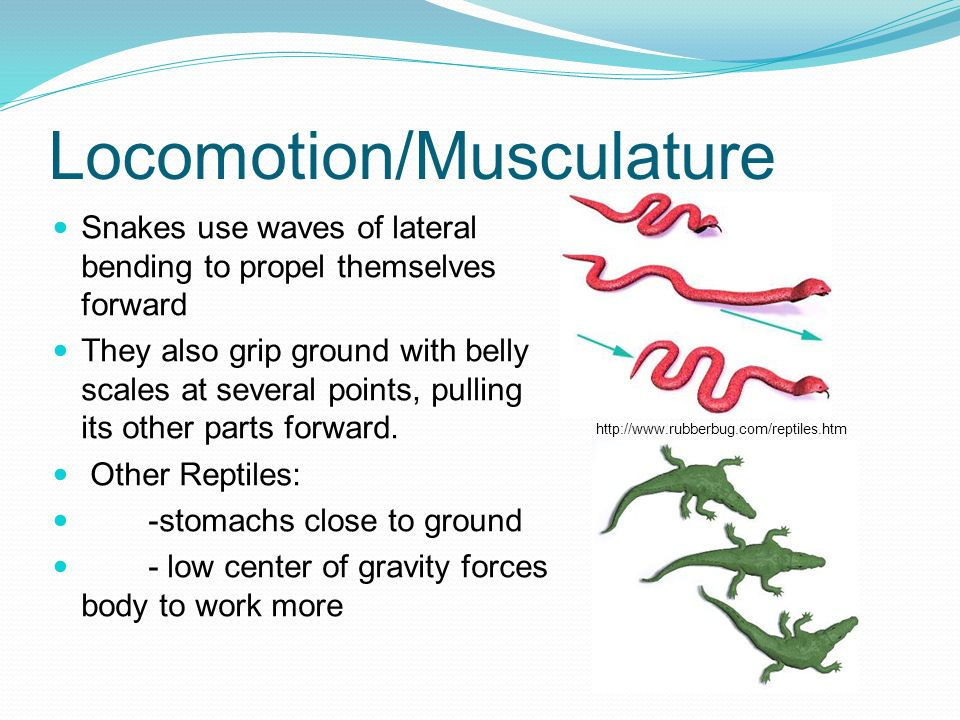 Locomotion/Musculature Snakes use waves of lateral bending to propel themselves forward They also grip ground with belly scales at several points, pul