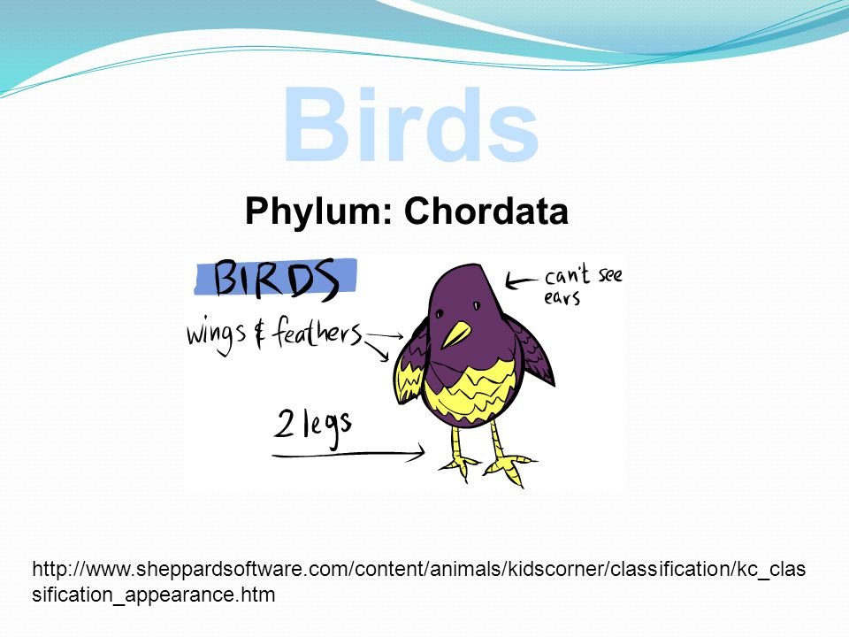 Phylum: Chordata http://www.sheppardsoftware.com/content/animals/kidscorner/classification/kc_clas sification_appearance.htm Birds