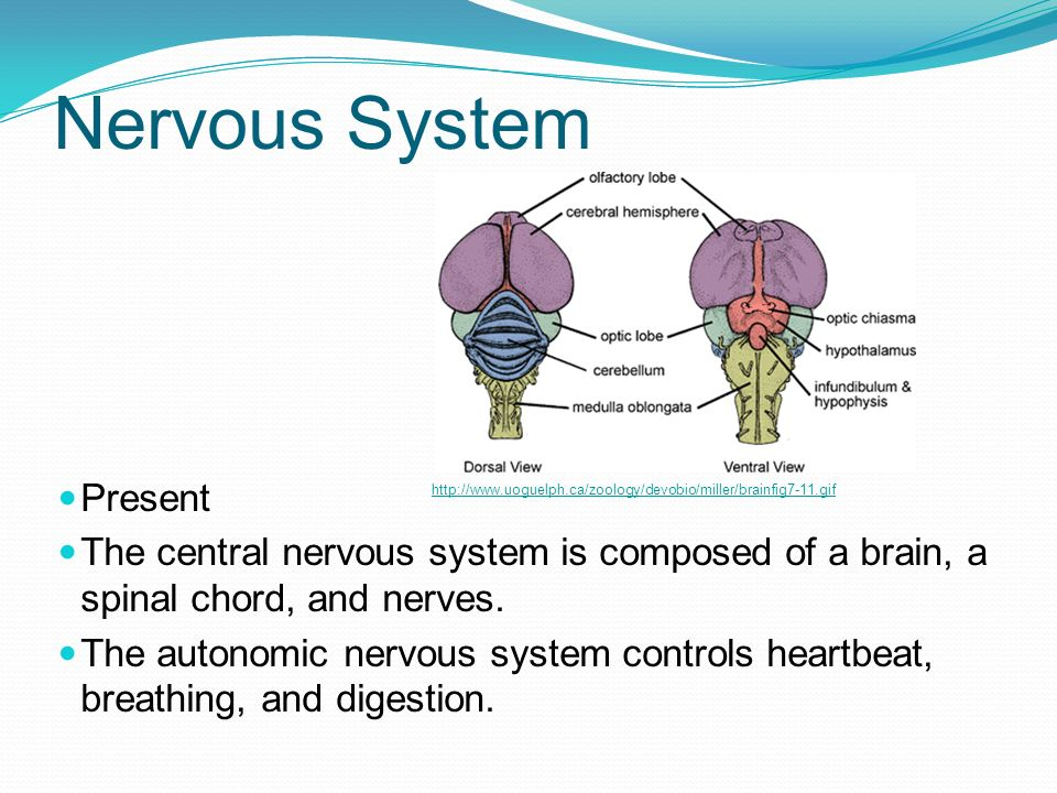 Nervous System Present The central nervous system is composed of a brain, a spinal chord, and nerves. The autonomic nervous system controls heartbeat,