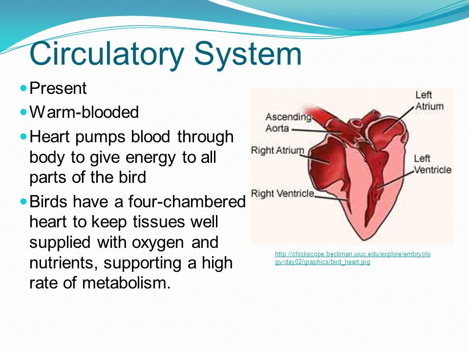 Circulatory System Present Warm-blooded Heart pumps blood through body to give energy to all parts of the bird Birds have a four-chambered heart to ke