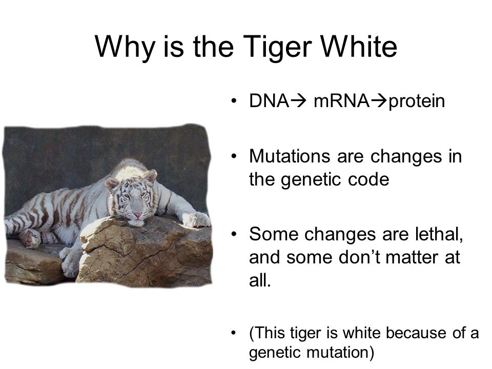 Why is the Tiger White DNA mRNA protein Mutations are changes in the genetic code Some changes are lethal, and some dont matter at all. (This tiger is