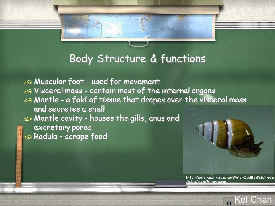 Body Structure & functions / Muscular foot - used for movement / Visceral mass - contain most of the internal organs / Mantle - a fold of tissue that