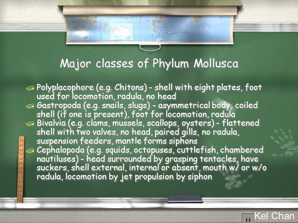 Major classes of Phylum Mollusca / Polyplacophore (e.g. Chitons) - shell with eight plates, foot used for locomotion, radula, no head / Gastropoda (e.