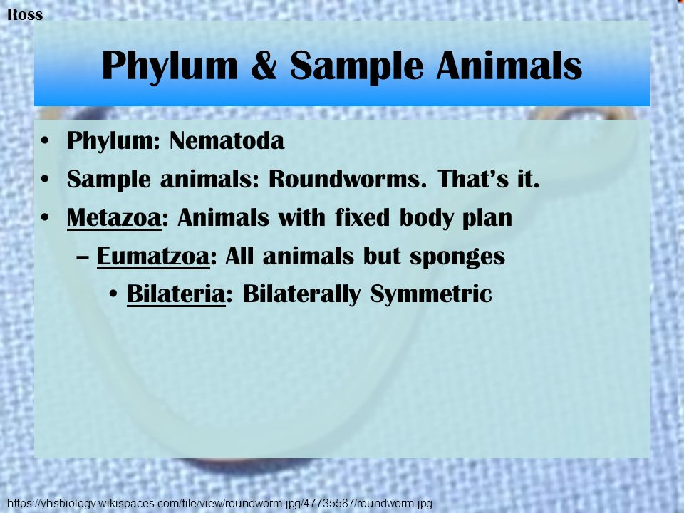 Phylum & Sample Animals Phylum: Nematoda Sample animals: Roundworms. Thats it. Metazoa: Animals with fixed body plan –Eumatzoa: All animals but sponge