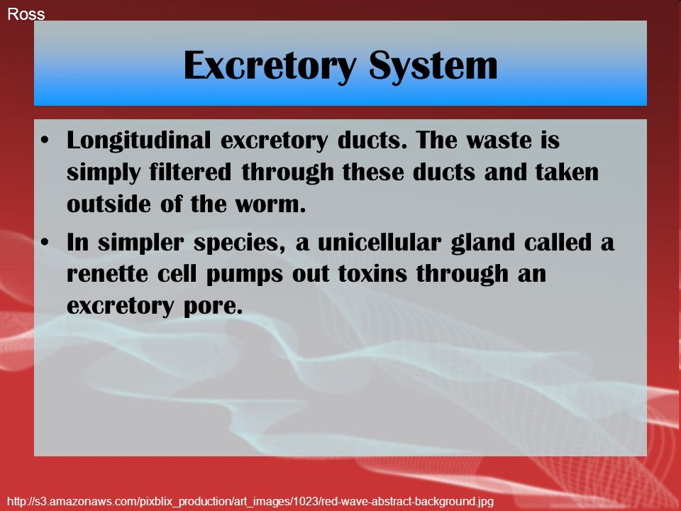 Excretory System Longitudinal excretory ducts. The waste is simply filtered through these ducts and taken outside of the worm. In simpler species, a u