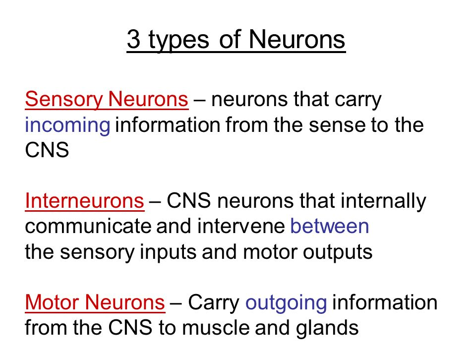 3 types of Neurons Sensory Neurons – neurons that carry incoming information from the sense to the CNS Interneurons – CNS neurons that internally communicate and intervene between the sensory inputs and motor outputs Motor Neurons – Carry outgoing information from the CNS to muscle and glands