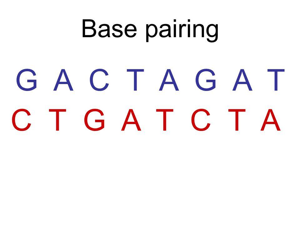 What makes a nucleotide? List the 3 parts of a nucleotide Phosphate Sugar Nitrogen Base
