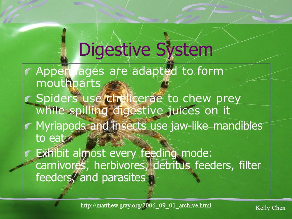 Digestive System Appendages are adapted to form mouthparts Spiders use chelicerae to chew prey while spilling digestive juices on it Myriapods and ins