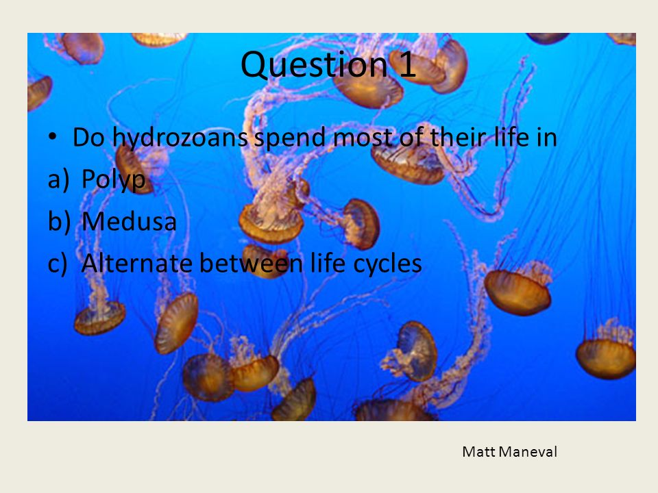 Question 1 Do hydrozoans spend most of their life in a)Polyp b)Medusa c)Alternate between life cycles Matt Maneval