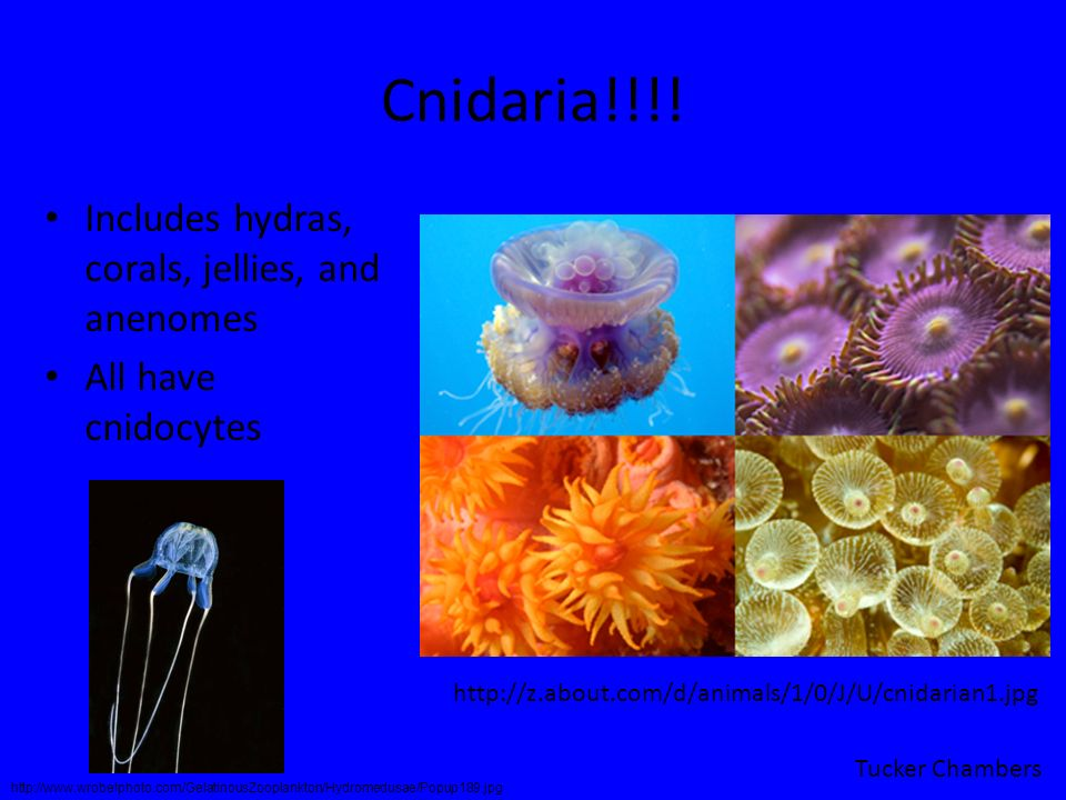 Cnidaria!!!! Includes hydras, corals, jellies, and anenomes All have cnidocytes http://z.about.com/d/animals/1/0/J/U/cnidarian1.jpg Tucker Chambers ht