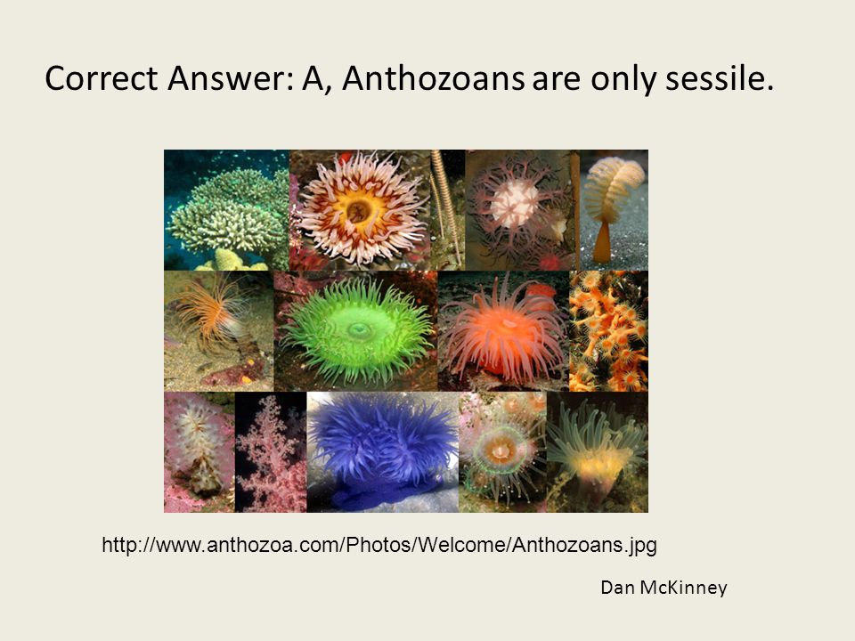 Correct Answer: A, Anthozoans are only sessile. Dan McKinney http://www.anthozoa.com/Photos/Welcome/Anthozoans.jpg