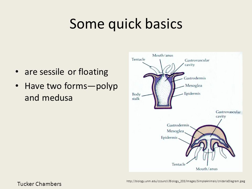 Some quick basics are sessile or floating Have two formspolyp and medusa http://biology.unm.edu/ccouncil/Biology_203/Images/SimpleAnimals/cnidariaDiag