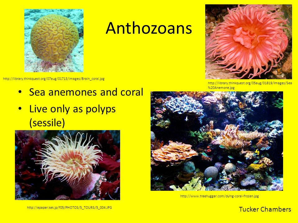 Anthozoans Sea anemones and coral Live only as polyps (sessile) http://library.thinkquest.org/05aug/01819/Images/Sea %20Anemone.jpg http://www.treehug